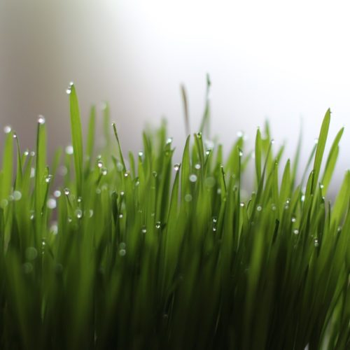 Five Reasons to Include Wheatgrass in Your Diet