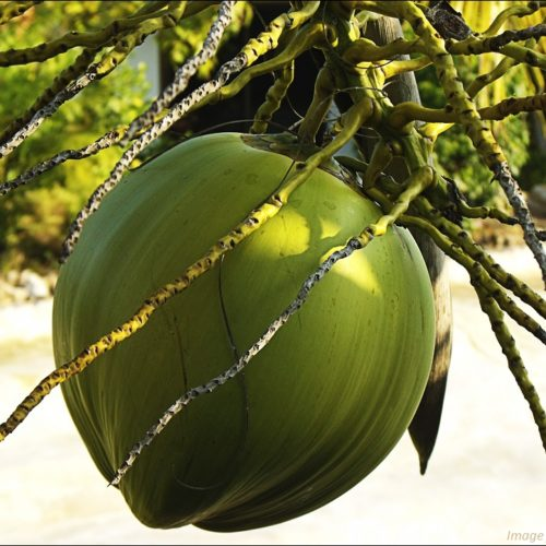 A Wealth of Benefits from Coconut Oil